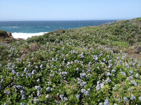 Big Sur Wildflowers