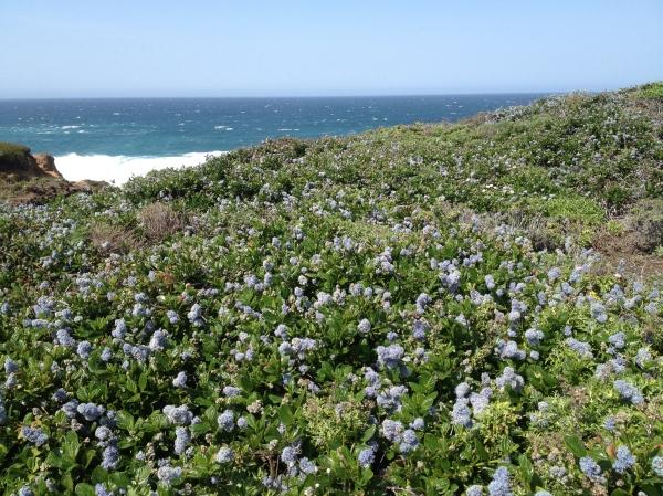 Big Sur Wildflowers