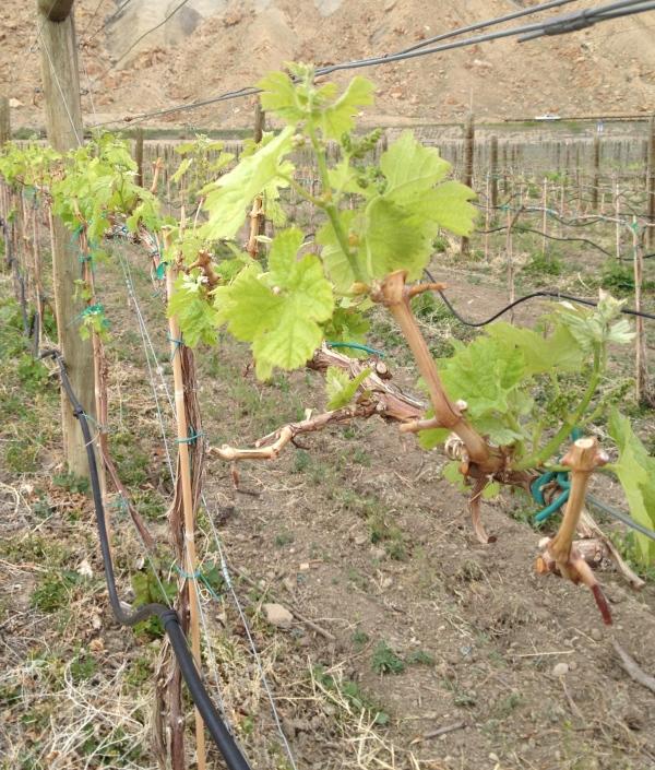 Palisade vines