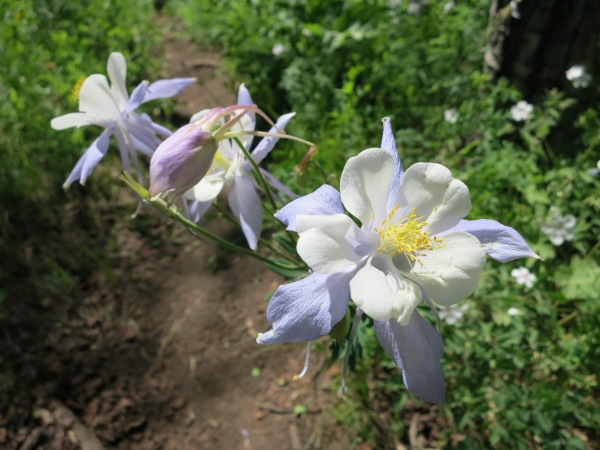 We spotted beautiful wild Columbine, Colorado's state flower, alongside the trail.