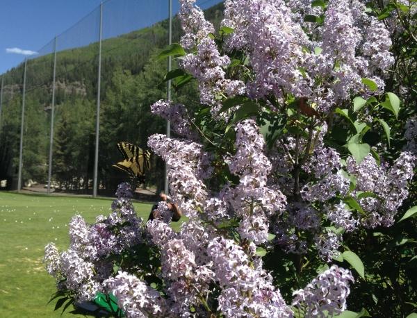 Vail Golf Lilacs