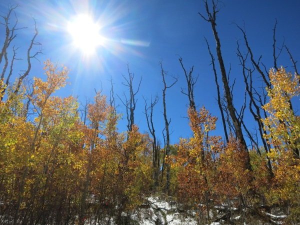 Aspens after fire