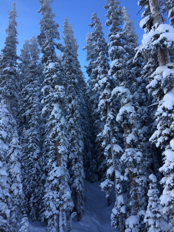Trees on Vail powder day