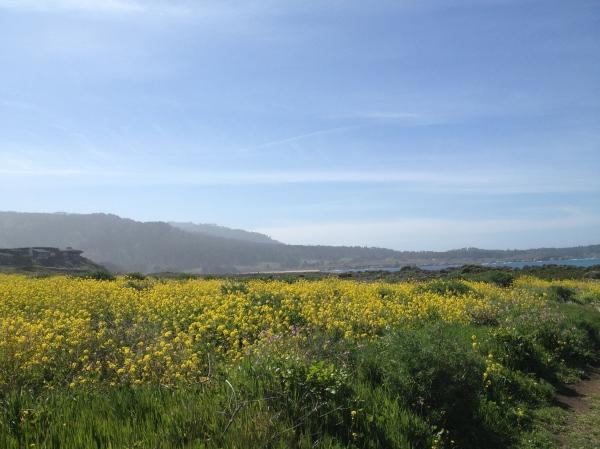 Carmel wildflowers